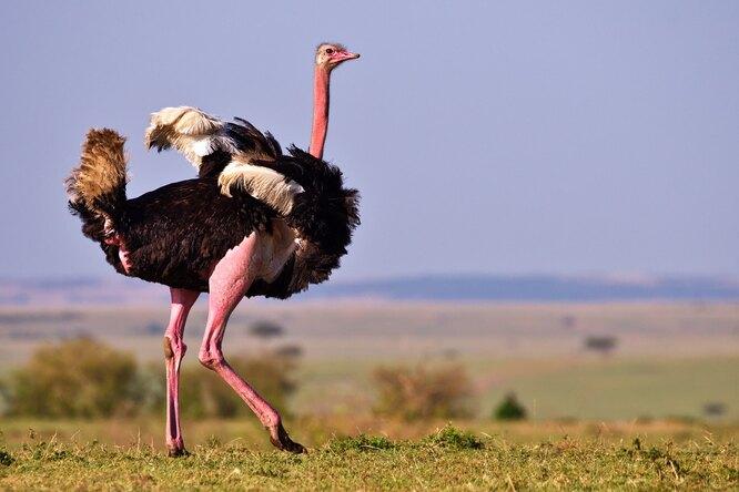 Кризис идентичности: страус ушёл кзебрам, чтобы несидеть наяйцах