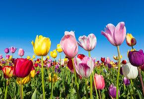 Как и когда сажать осенью луковицы тюльпанов?