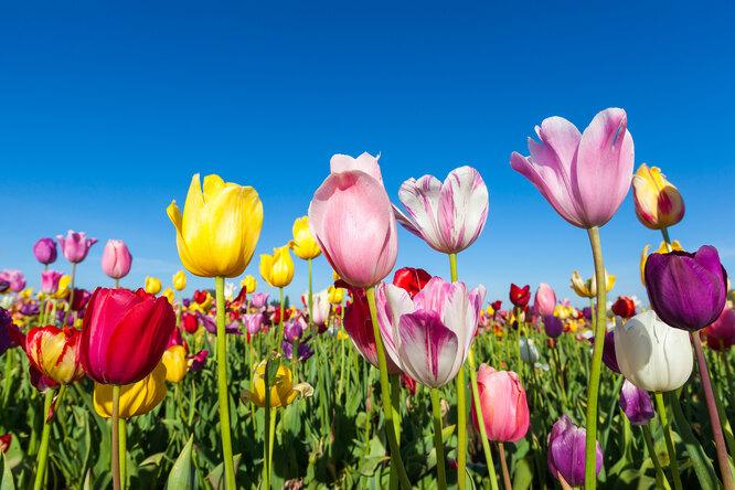 Как икогда сажать осенью луковицы тюльпанов?