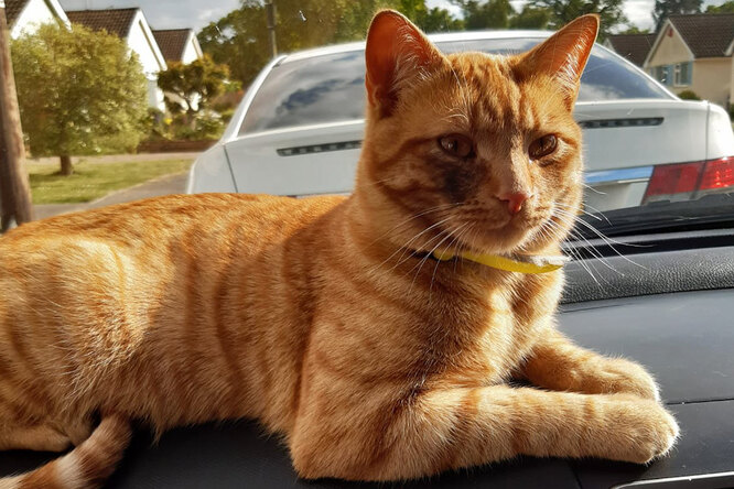 Кот сбежал издома ипрошел 40 км, чтобы вернуться вродную деревню
