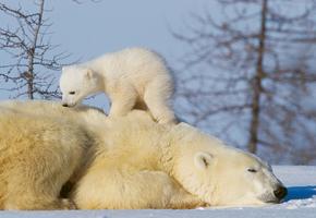 Мамы все такие: упрямый медвежонок хотел залезть в воду. Но не смог