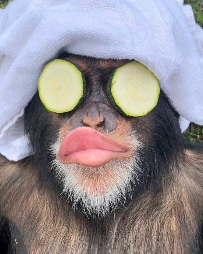 обезьяна, шимпанзе