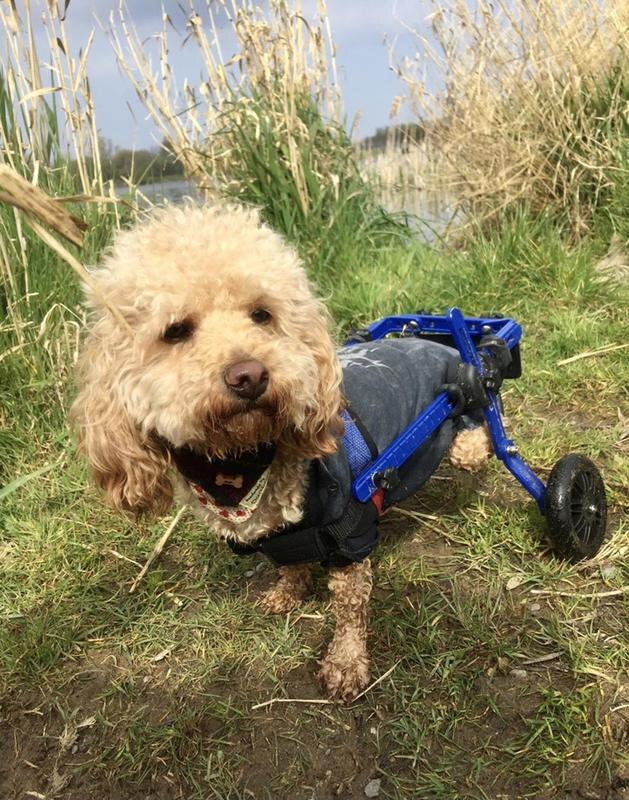 пес терапевт, инвалидная коляска для собак