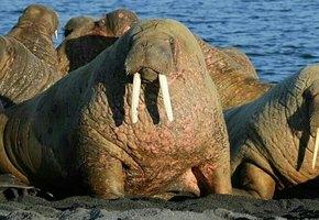 В Баренцевом море моржиха потопила лодку ВМФ России