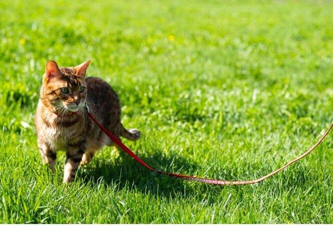кот гуляет на поводке