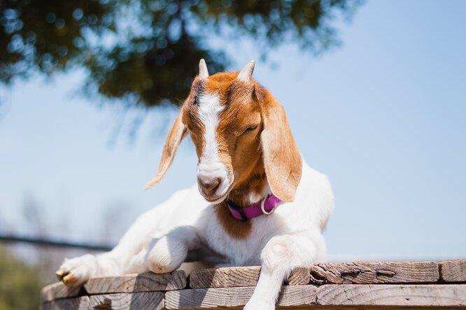 «Доносились крики из-под земли»: пожарные два дня спасали козу изводостока
