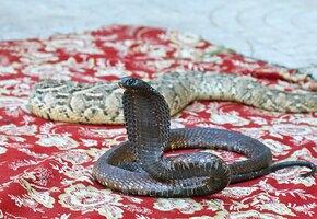 Новая машина и 6 тысяч евро: мужчина убил жену ядовитой змеёй, чтобы не возвращать приданое