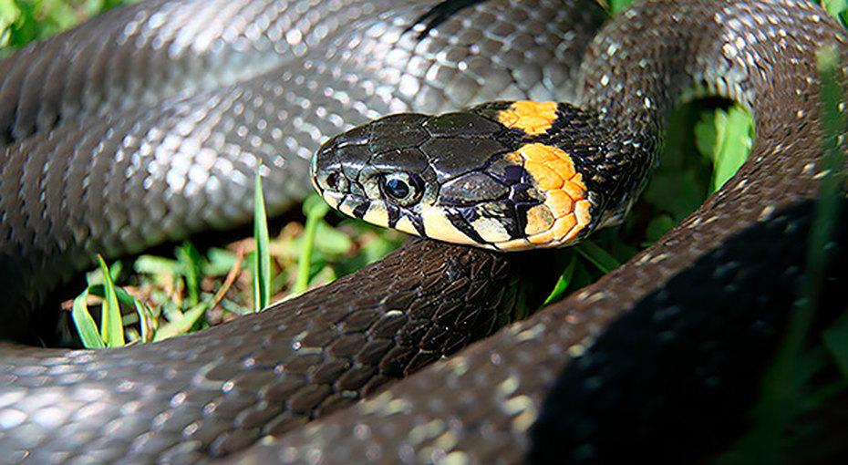 Змеи: как отличить гадюку отужа ичто делать приукусе