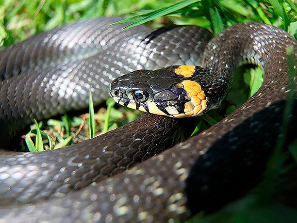 Белая змея -техасский полоз и альбиносы в мире рептилий, описание, особенности