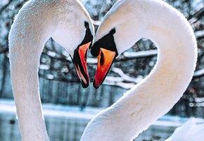 Разлучили, чтобы спасти: любовь лебединой пары растрогала всех