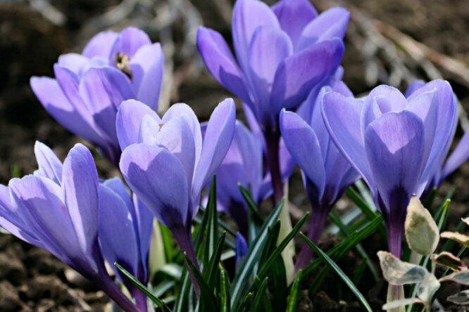 Многолетние цветы длядачи вхолодных регионах
