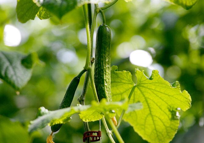Прищипывание огурцов в открытом грунте и теплице так же важно, как поливы и подкормки