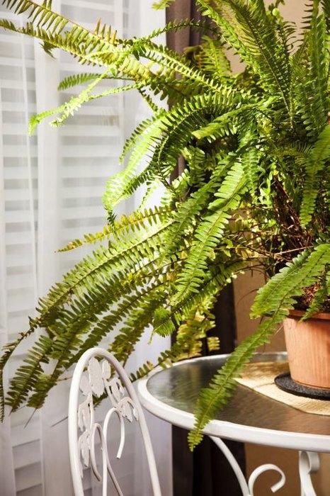 Комнатные растения. Бостонский папоротник
