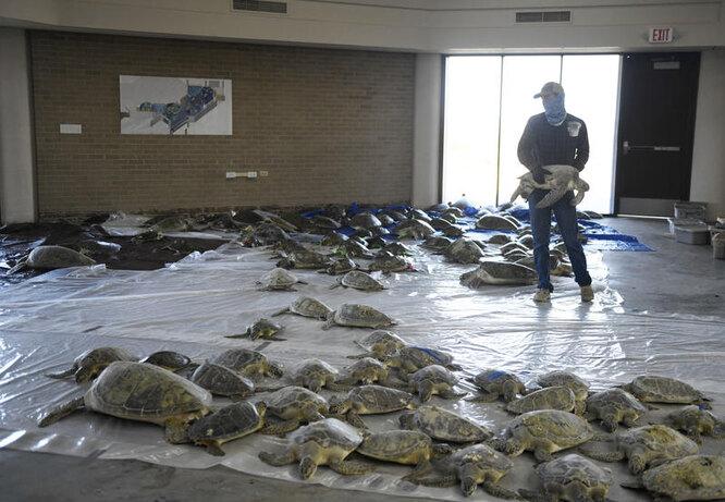 морозы в техасе, спасение черепах