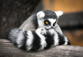 «Они не больше теннисных мячиков с хвостами»: в британском зоопарке родились лемуры-близнецы