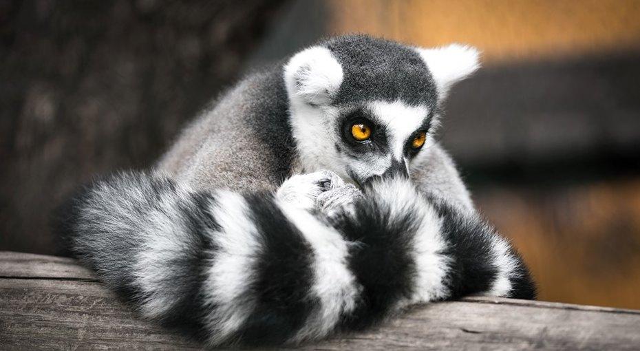«Они небольше теннисных мячиков схвостами»: вбританском зоопарке родились лемуры-близнецы
