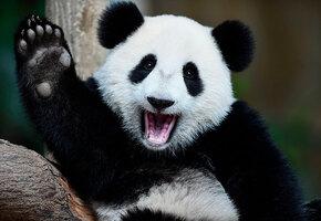 Она пыталась! Крошки-панды не дают работнице зоопарка собрать листья (видео)