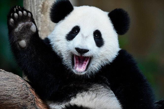 Она пыталась! Крошки-панды недают работнице зоопарка собрать листья (видео)
