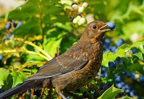 Как защитить урожай смородины, черешни и других ягод от птиц?