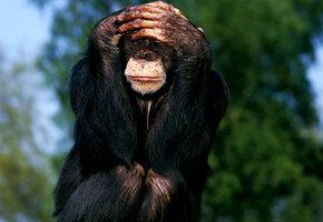 Пожилые приматы выбирают друзей по тем же признакам, что и пенсионеры
