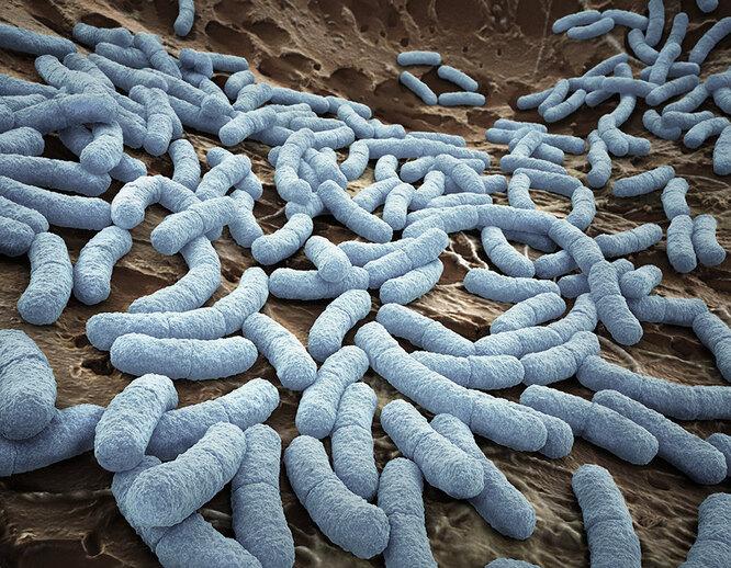 Бактерия E.coli