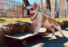 Есть, чему поучиться! Бульдог Соня катается на скейте лучше большинства людей