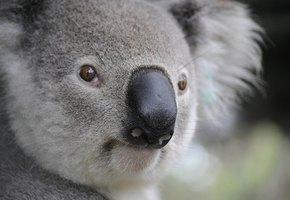Австралийские организации просят не присылать больше варежки для коал