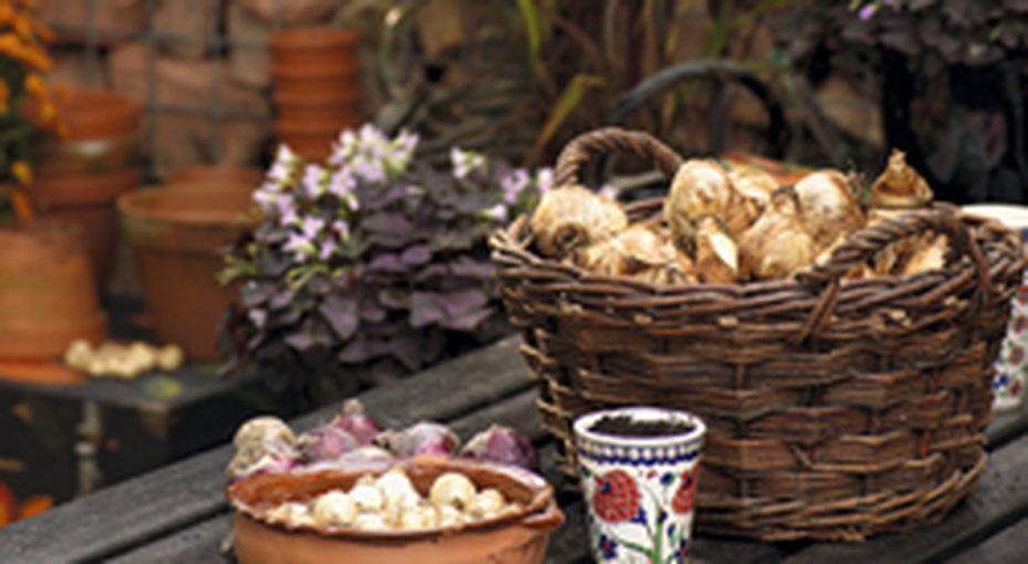 Луковичные растения длясада: все опосадке