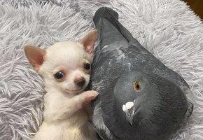 Голубь Герман и щенок Ланди знают толк в дружеских объятиях. А нам остается умиляться их совместными фото