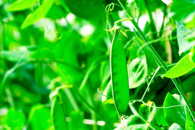 Фасоль, зелёный горошек
