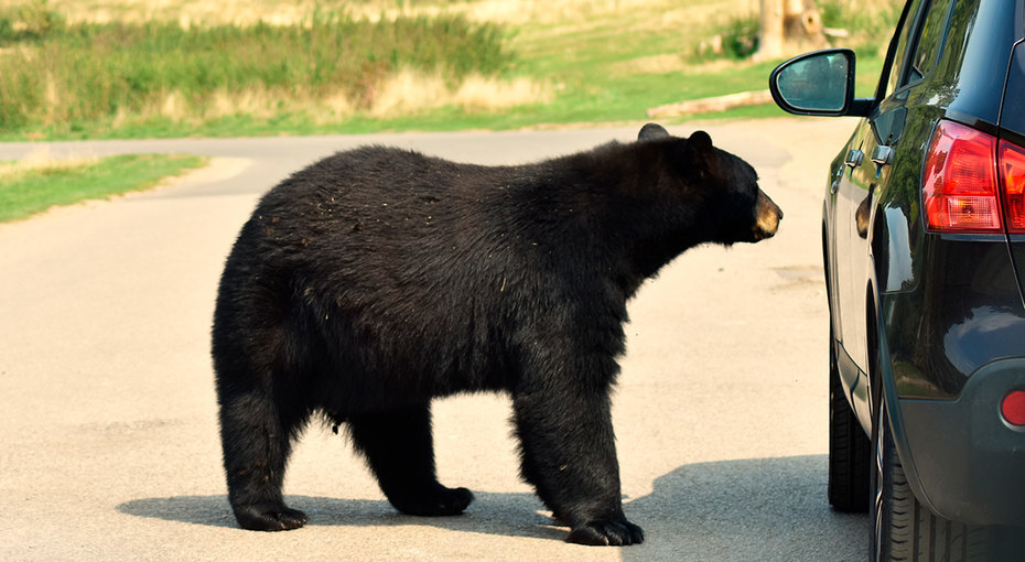Медведь хотел прокатиться наМерседесе, но хозяин спугнул его спомощью «первобытных»  криков (видео)