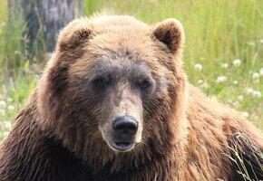 Русская клюква. Как живет дикая фотомодель медведь Степан