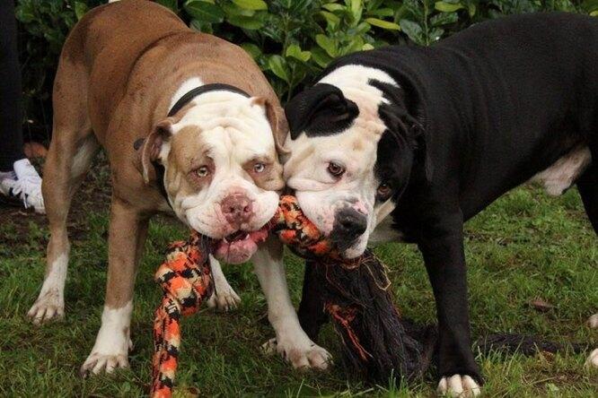 Кали и отец щенков - Конго