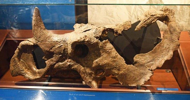 череп рогатого динозавра, череп центрозавра
