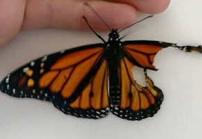 Швея пришила бабочке оторванное крыло. Результат превзошел все ожидания