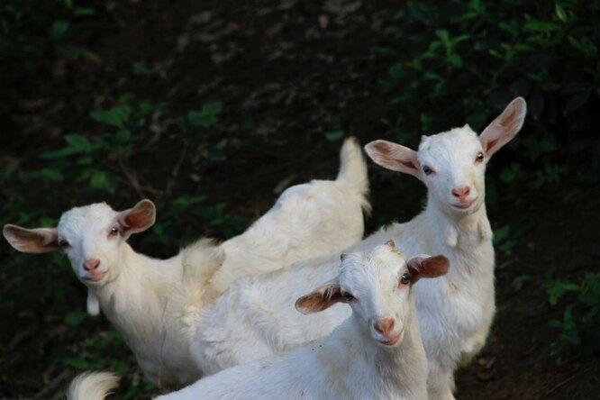 Пенсионерка изТатарстана учит коз танцевать ипишет стихи