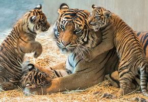 Редкий случай: папа-тигр взялся растить четырех тигрят после гибели их матери
