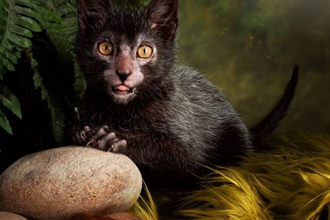 Кошки-оборотни покоряют мир. Знакомьтесь, ликои