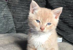 Миниатюрный Манчи: фото кота, который навсегда останется котенком