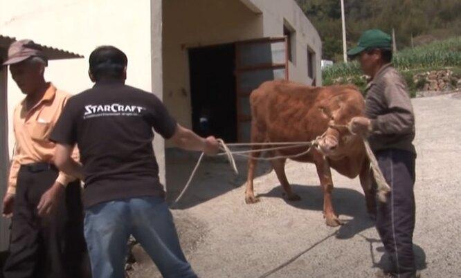 люди уводят корову