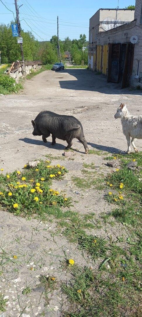 Кабан и козы регулярно попадают в объективы жителей