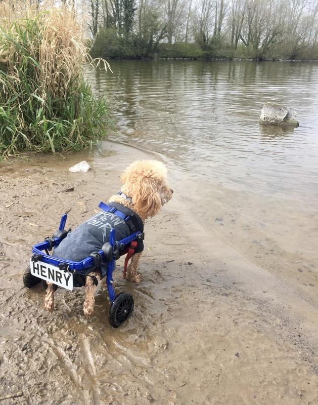 пес инвалид на прогулке