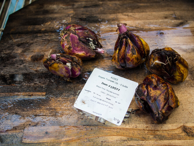 Посадка лилий осенью: импортные луковицы для этого не подойдут