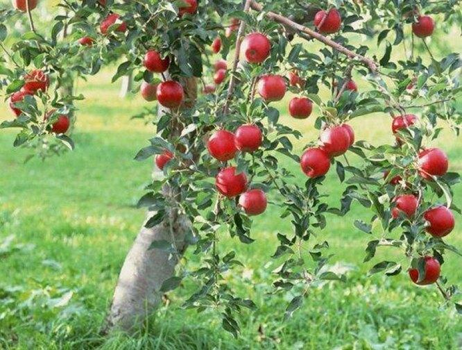"""Яблоня сорта """"Медуница"""". Фото с сайта"""