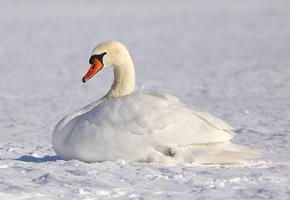 15 лебедей вмерзли в лед, но люди пришли на помощь. Смелость спасателей поражает