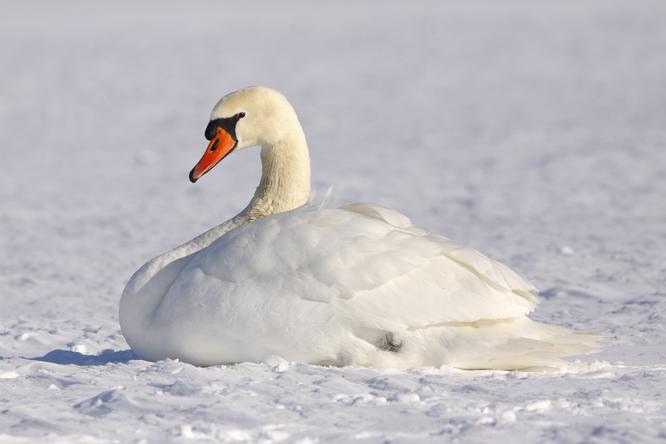 15 лебедей вмерзли влед, но люди пришли напомощь. Смелость спасателей поражает