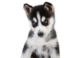 Дизайнерская голубая порода: как счастливая собака шокировала хозяйку