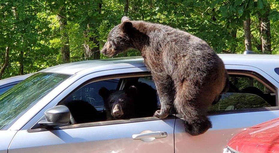 Банда медвежат залезла вмашину ипопыталась ее угнать