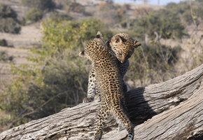 Чудесное воссоединение: малышей леопарда вылечили и вернули маме
