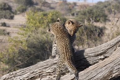 Чудесное воссоединение: малышей леопарда вылечили ивернули маме